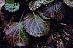 イワウチワの葉