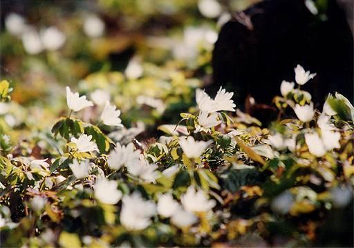 アズマイチゲの画像 p1_15