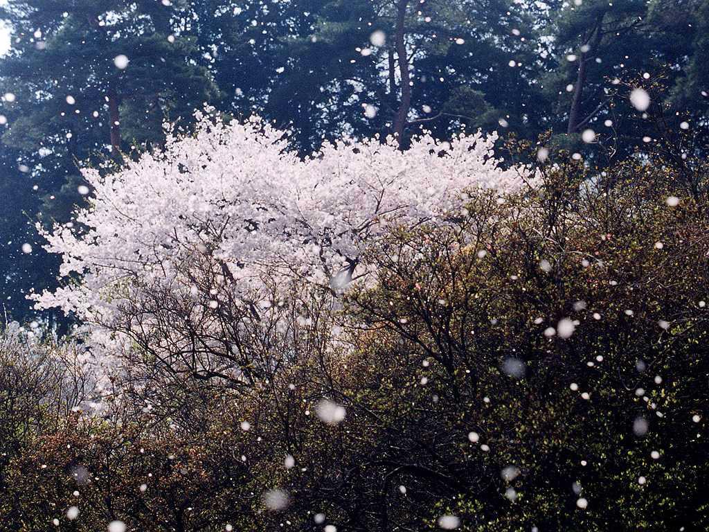 http://www.sanyasou.com/oohira/sakura_0000L.jpg